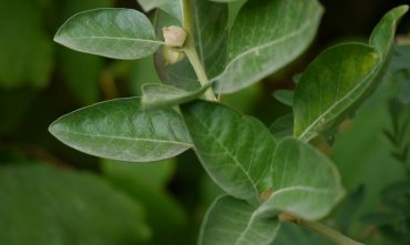 Imbalance due to external stresses or internal changes - Adaptogen' of choice for returning to balance - Ashwagandha: